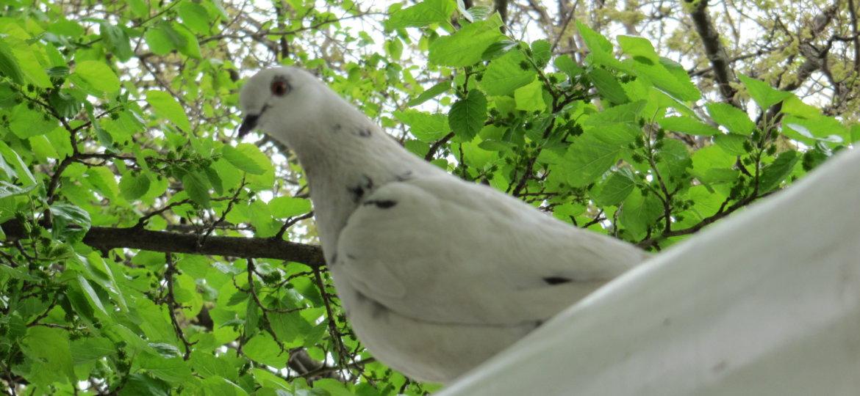 naslovna golobček